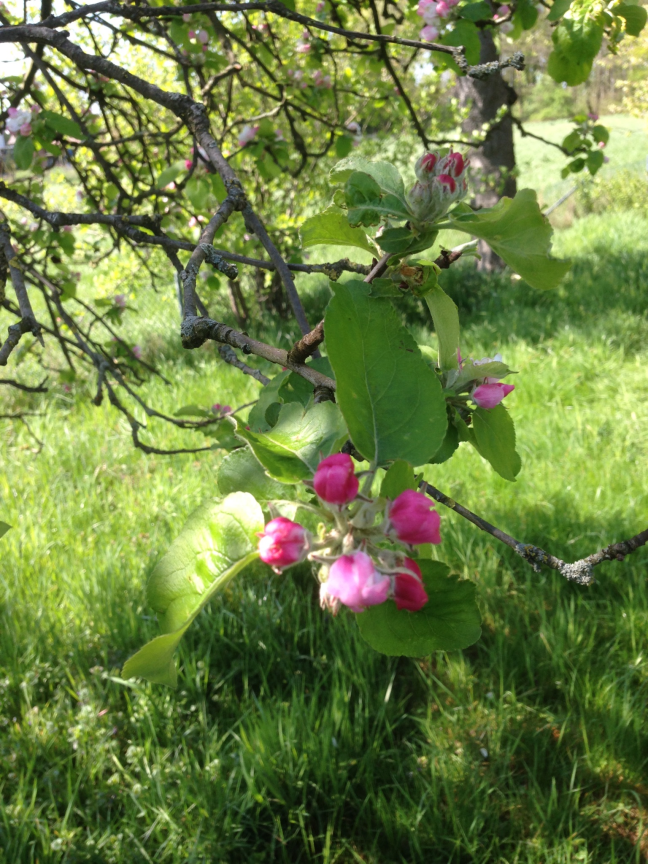An Apple Tree Flower in Martin Bernhardts historic Garden.